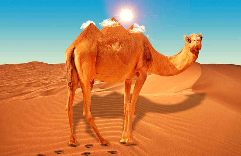 Camel-Giza